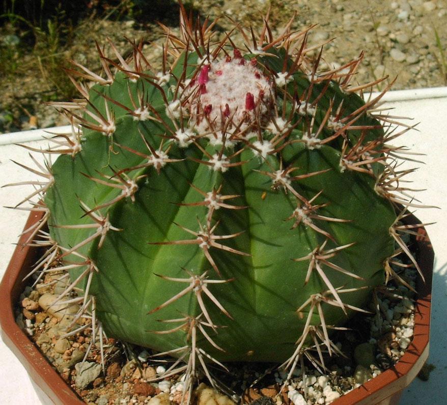 Melocactus conoideus