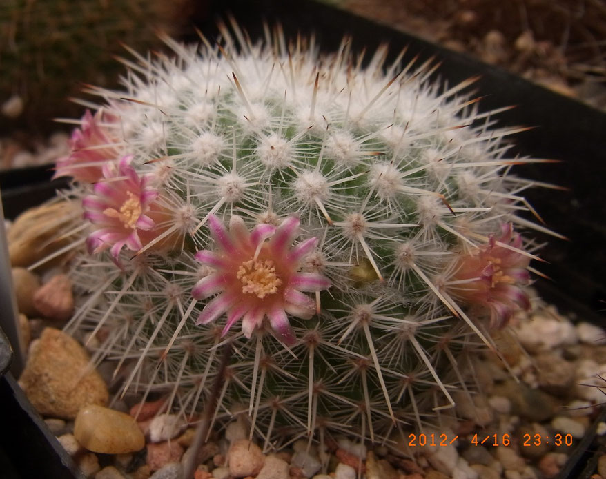Mammillaria dixanthocentron, tommelin-form