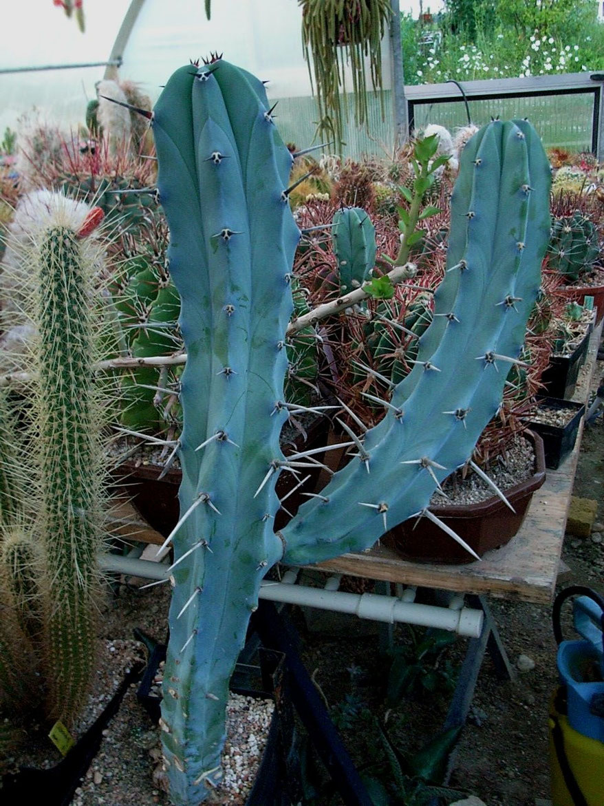 Myrtillocactus geometrizians