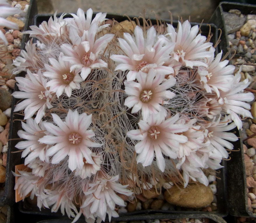 Mammillaria nazaensis