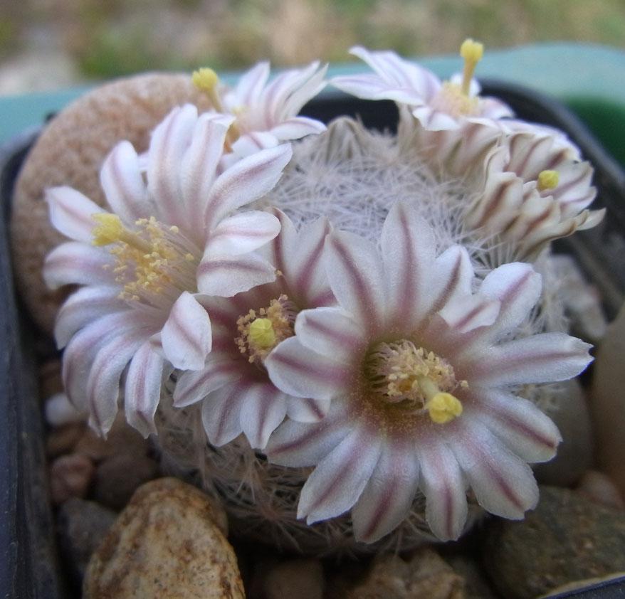 Mammillaria lasiacantha SB 431