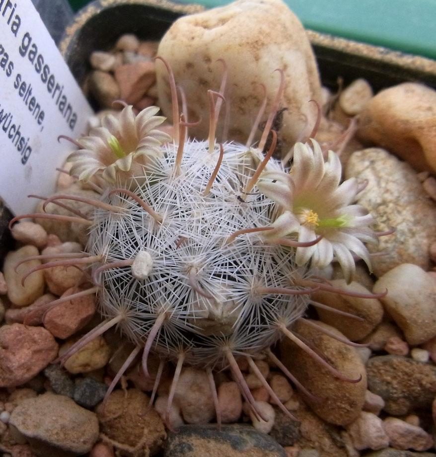 Mammillaria gassneriana SB 1902