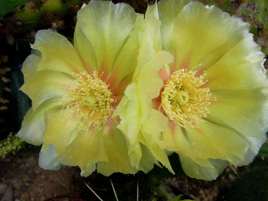 Opuntia phaeacantha - Klon I