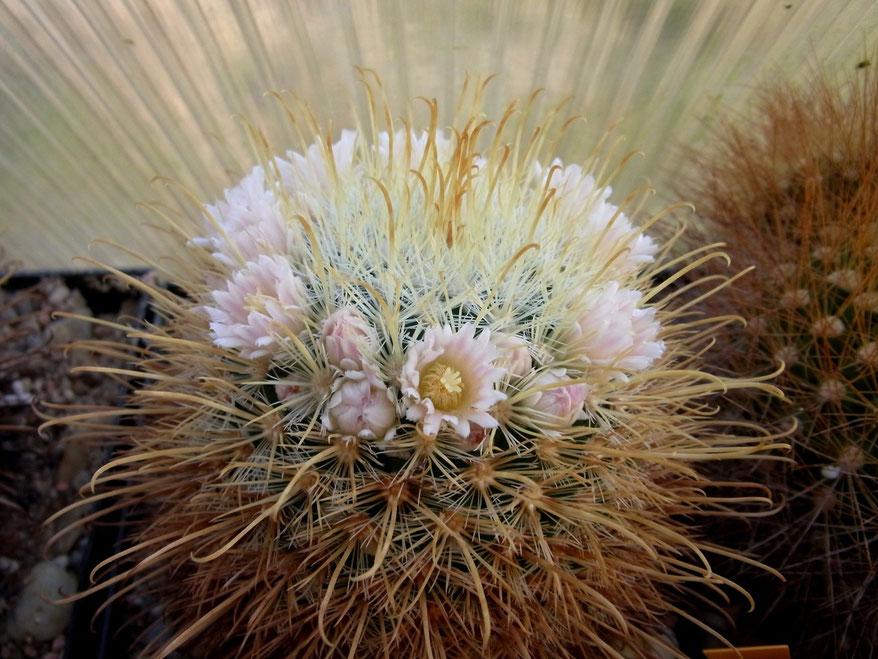 Mammillaria cowpare -  eine moelleriana varietät