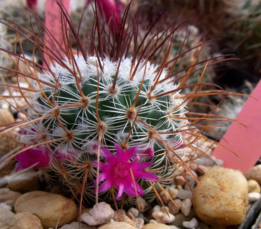 Mammillaria huitzolopochtil L 1495