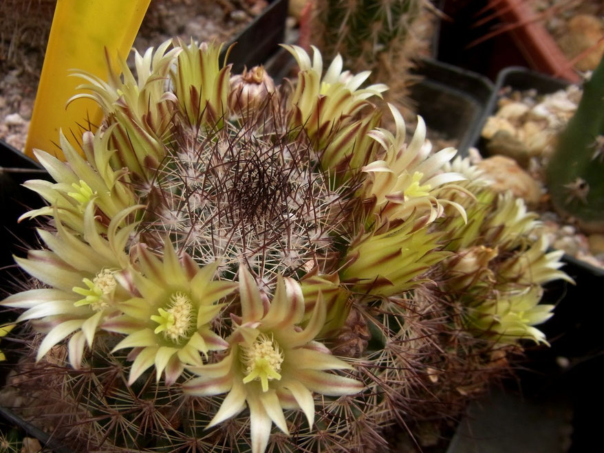 Mammillaria gaetsii