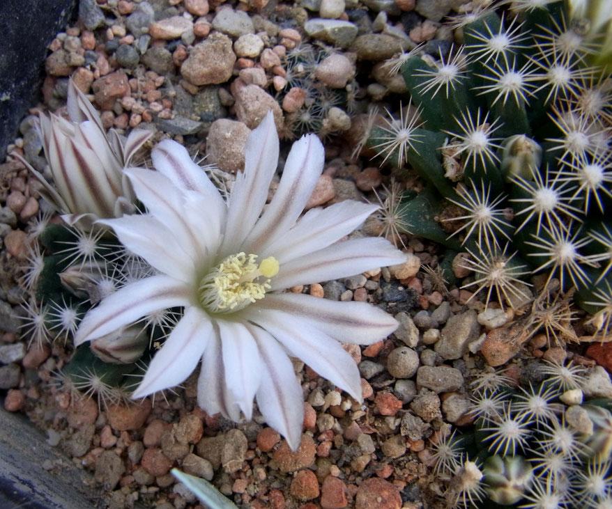 Mammillaria a d kakteen kaktus samen kaufen pflanzen - Synonym am besten ...