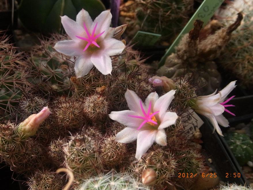 Mammillaria yaquensis