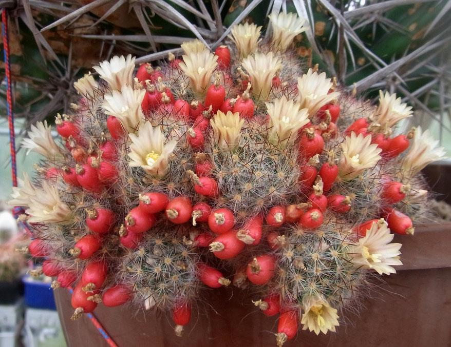 Mammillaria multiceps