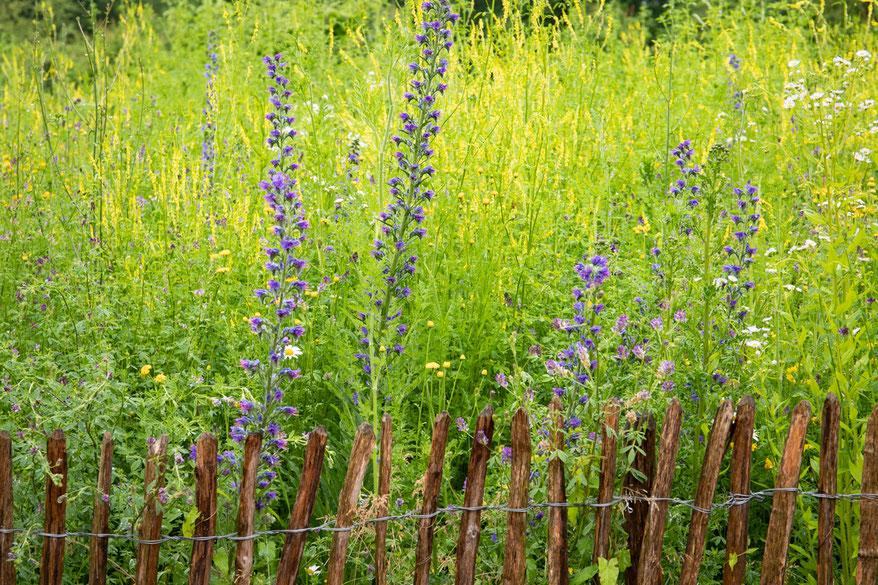 Natternkopf in einer Blumenwiese hinter Staketenzaun