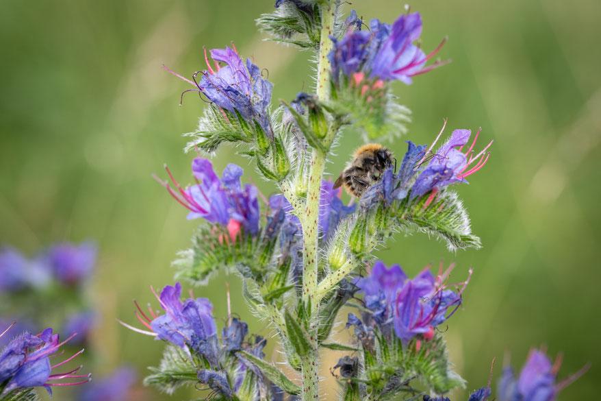 Natternkopfblüte, Echium,  mit Biene.