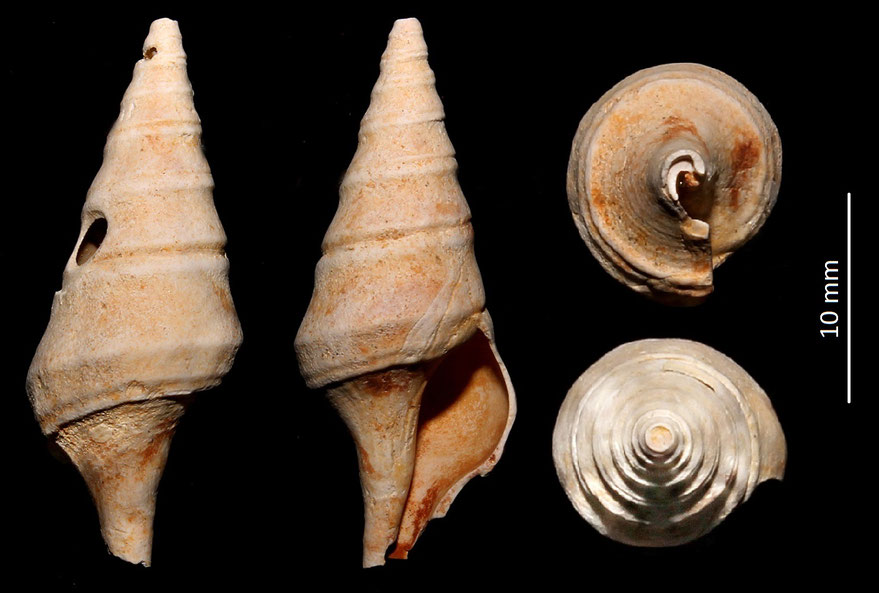 Clavatula carinifera var. burdigalensis, Miocene del bacino dell'Aquitania