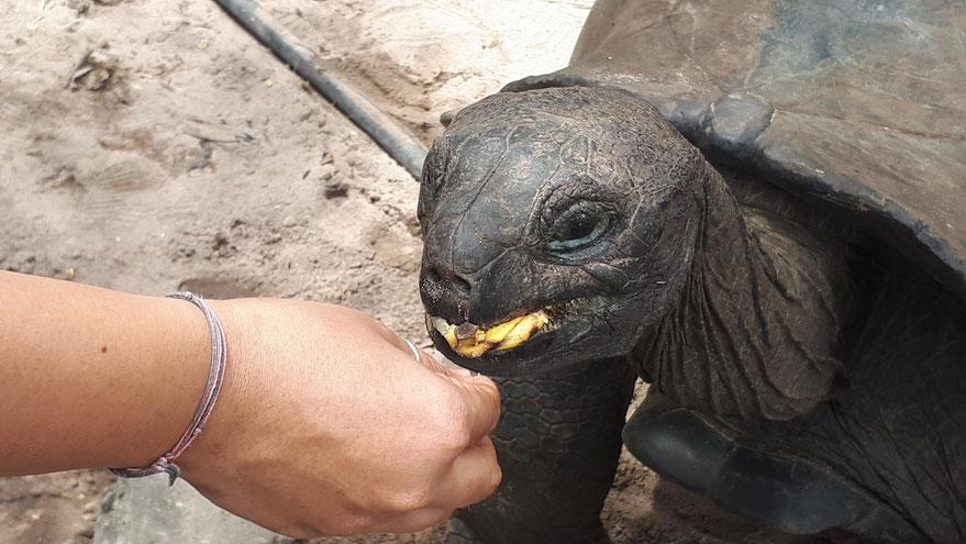 Aldabra-Riesenschildkröte auf Curieuse