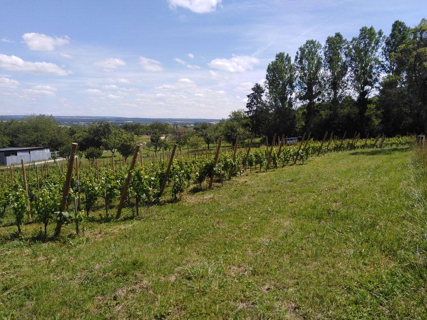 L'Arbre Viké, Vignes à Blénod les Toul AOC Côtes de Toul - Jan Tailler