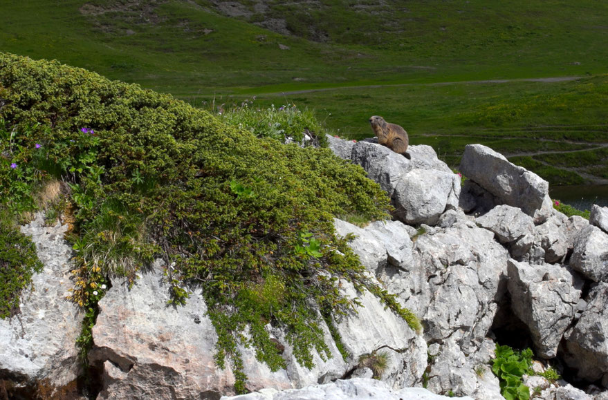 Alpinis švilpikas / Foto: Kristina Stalnionytė