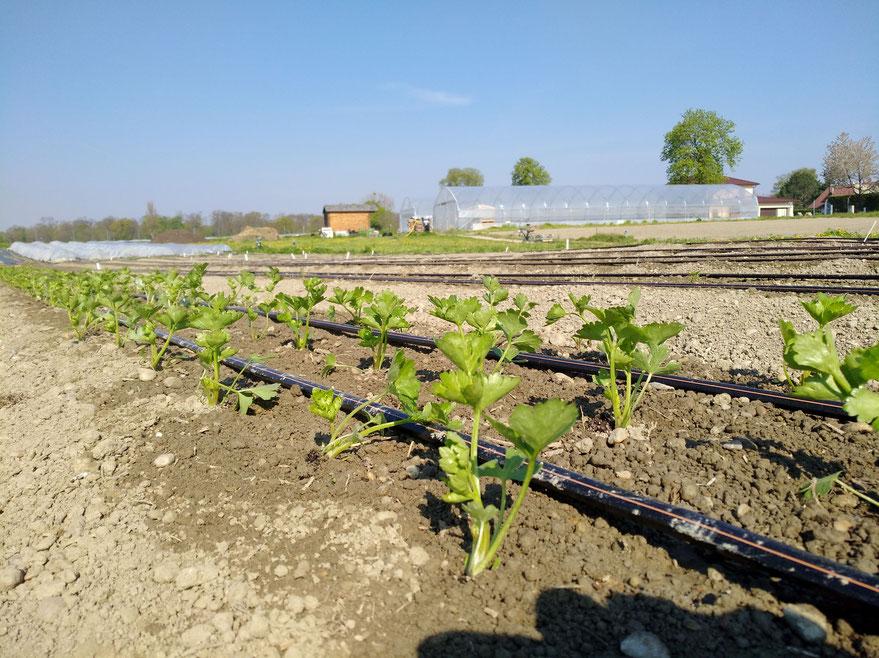 Knollensellerie frisch gepflanzt