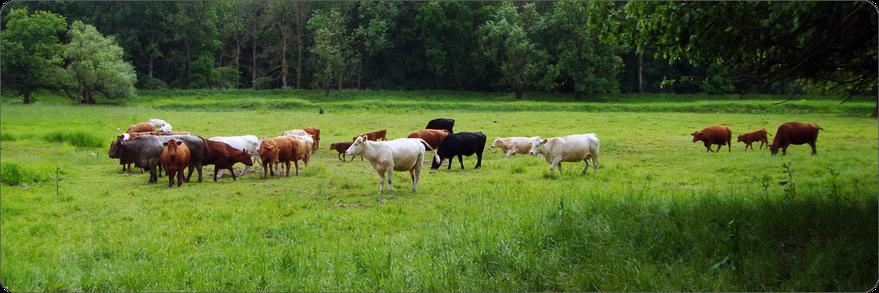 Bio Rindfleisch aus Mutterkuhhaltung