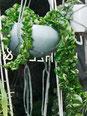 Hoya compacta Zimmerpflanzen kaufen Wien