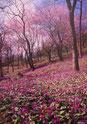 かたくり群生と大山桜/石原大介