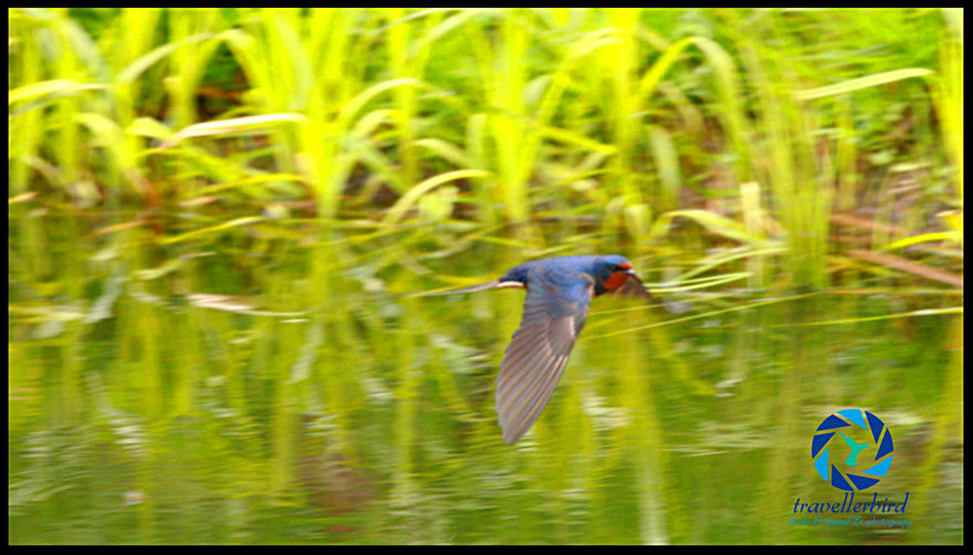 Rauchschwalbe Barn Swallow in flight