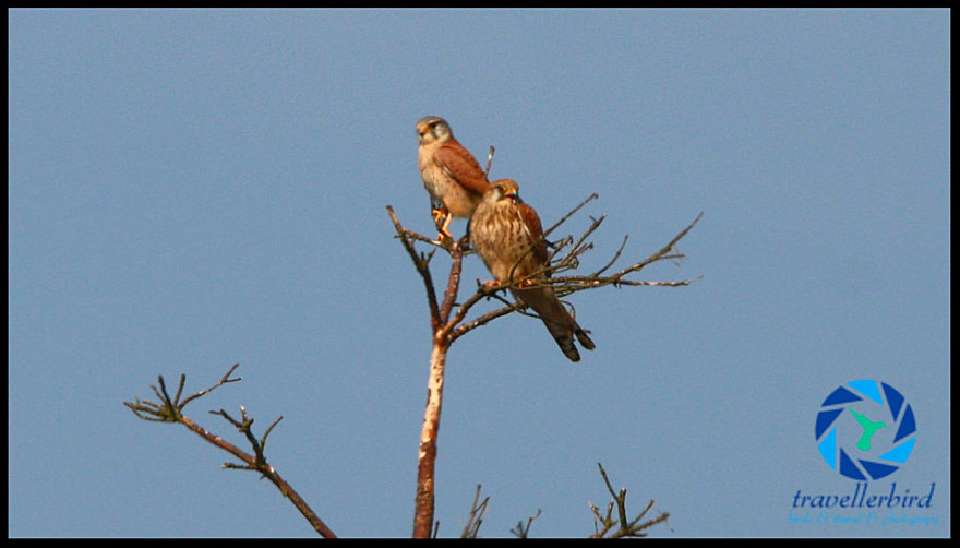 Turmfalke Kestrel Male and Femal Bird