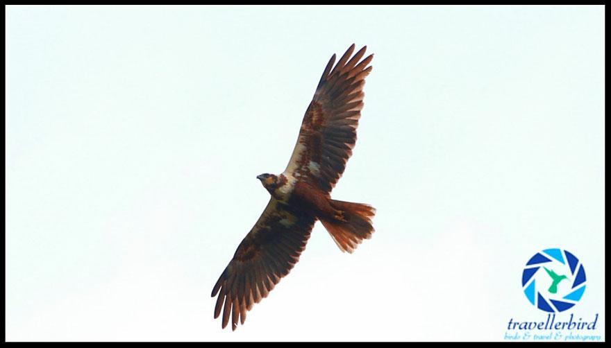 Rohrweihe Circus aeruginosus Western Marsh Harrier