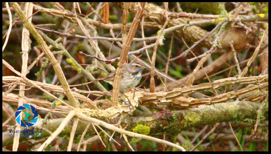 Female Bluethroat Blaukehlchen
