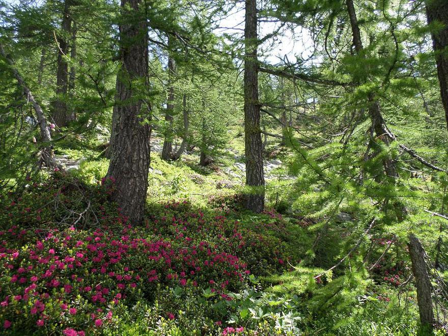 Beaucoup de rhododendrons après la balise 269 (photo prise le 5 juillet 2014)