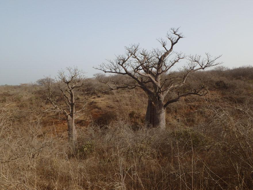baobabs dry season - Reserve Naturelle de Popenguine - Senegal