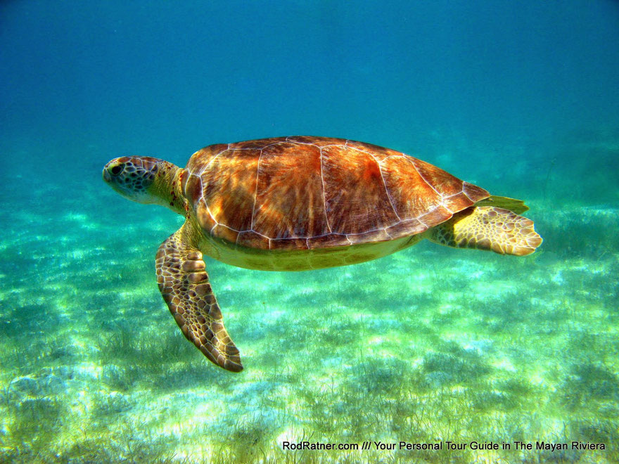TURTLE SANCTUARY: SNORKEL WITH GREEN SEA TURTLES IN THEIR NATURAL HABITAT