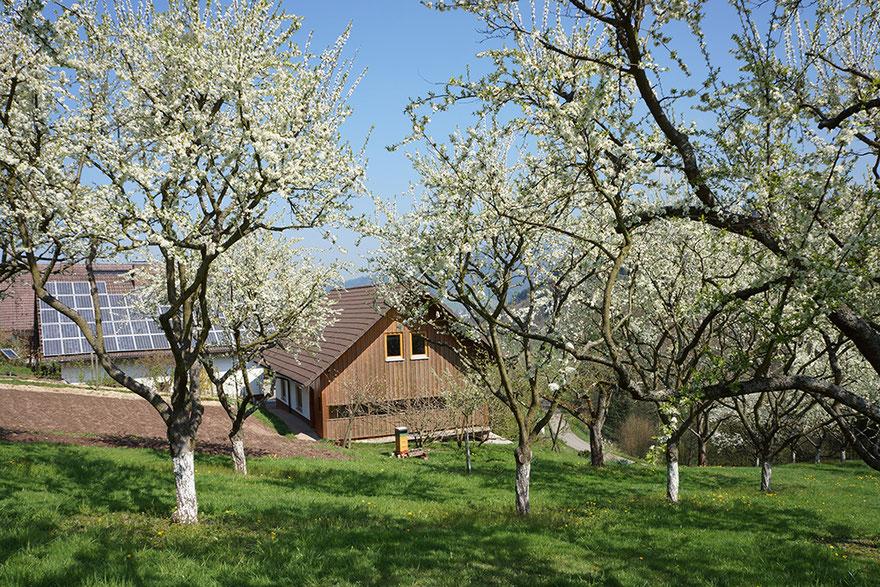 Bienen sammeln Blütenhonig von den Obstbäumen