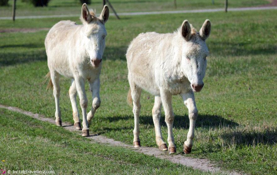 Weiße Esel in der Vila Vita Pannonia