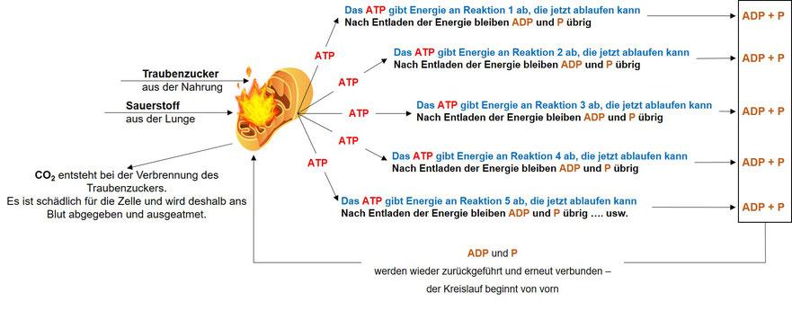 ATP-Synthese zur Energiegewinnung | eigene Darstellung