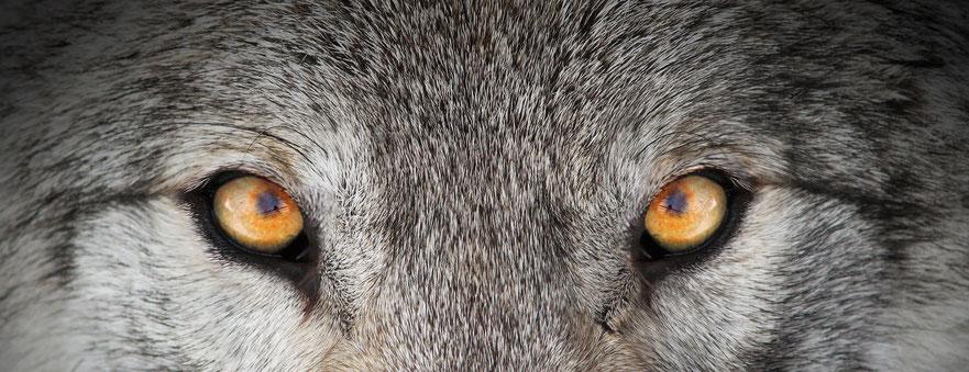 Augenfarben Der Wölfe Mittelalter Wolfs Webseite