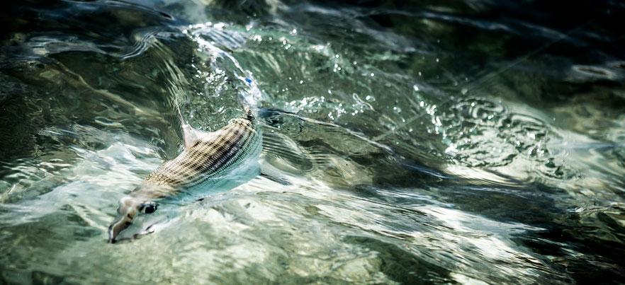 Fly fish Venezuela, FFTC.club saltwater destination, Los Roques, Bonefish hooked, Fly fish saltwater destinations for Jacks, Barracudas, Bonefish, Snapper, Snook, Bonitos.