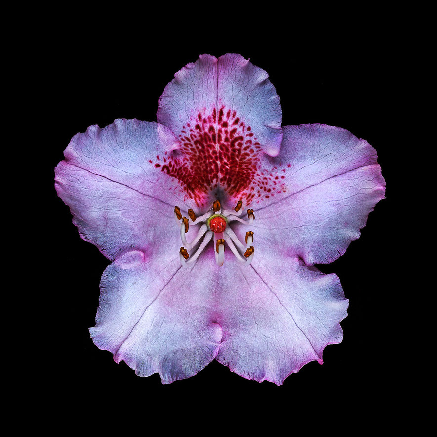 Floralis I, Marc Junghans Fotografie, Aufnahme eine Blüte