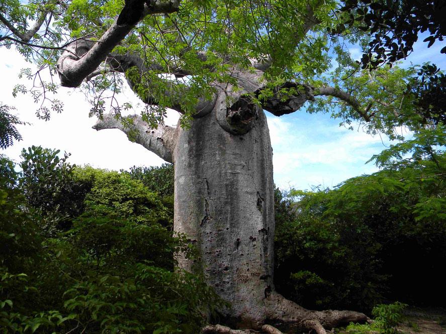 Baobab - afrikanischer Affenbrotbaum