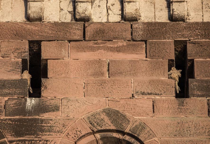 2 Turmfalken im historischen Brückenturm, Aufnahme mit 600-er Teleobjektiv mit frdl. Genehmigung von Ralf Forsten