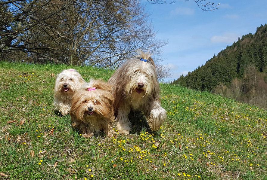 drei Hunde in Blumenwiese