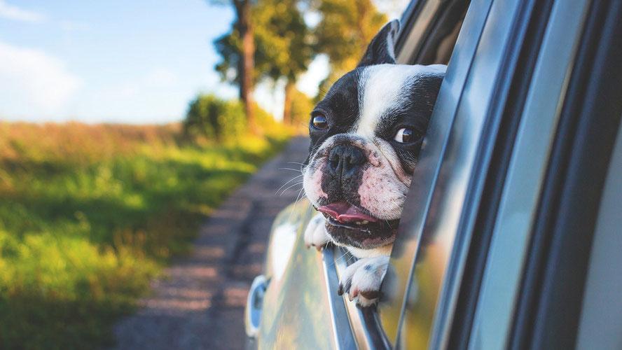 Dank Hundetreppe fürs Auto wieder unterwegs: Ihr Hund!