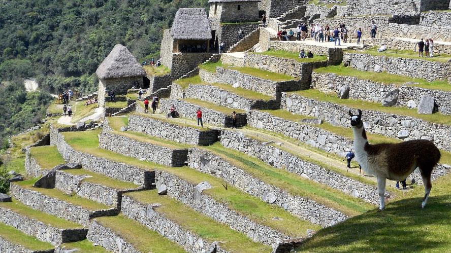 Heutzutage sind Lamas die Einwohner Machu Picchus - im Hintergrund das Lager, Qolqas.