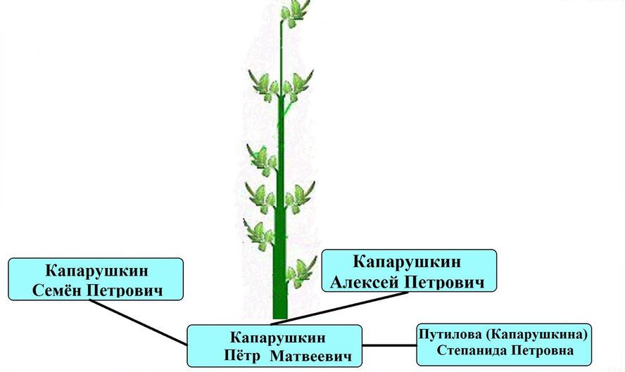 Древо рода Капарушкина П.М.