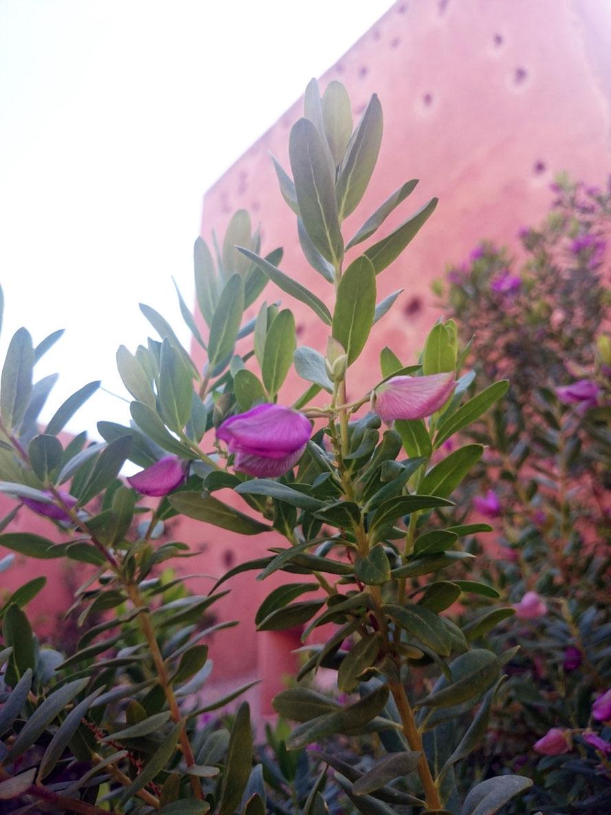 Blick auf die roten Mauern Marrakeschs; davor die Indigo-Planze aus der der strahlend blaue Farbstoff Indigo gewonnen wird.