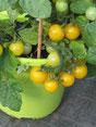 Paulinchen: Kleine, runde, gelbe Früchte. Foto Bio Gärtnerei Kirnstötter