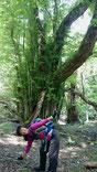 炭焼き窯跡とカツラの巨木