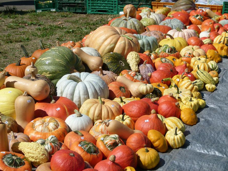 Courges d'hiver, excellent aliment nutritif d'automne