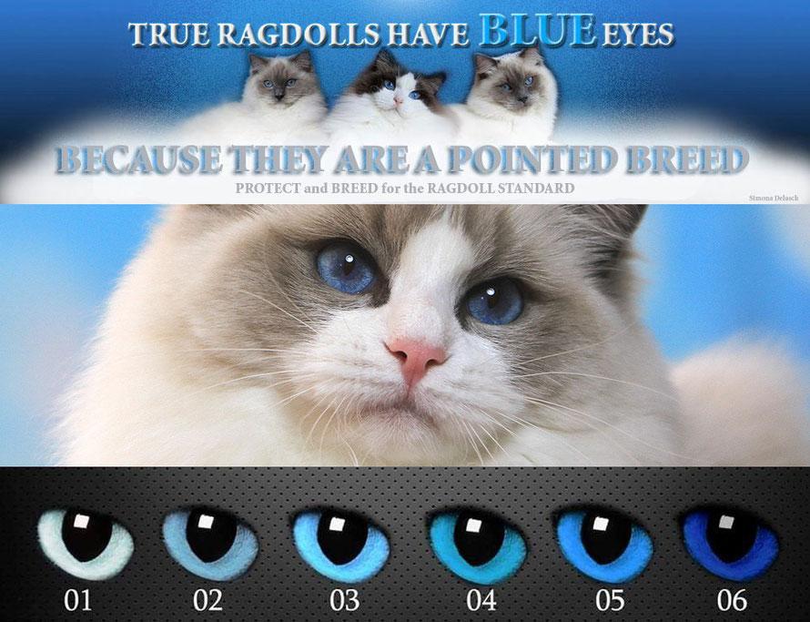 Die Ragdoll sollte das bleiben, wofür sie bekannt wurde: Eine wunderschöne, liebenswürdige Pointkatze mit blauen Augen.