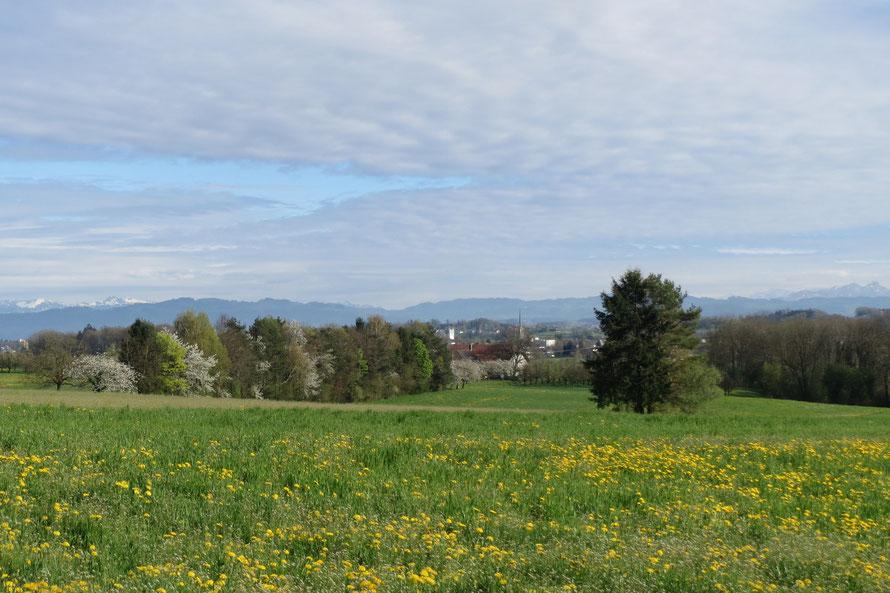 Bild: Blick auf Amriswil mit dem geschützten Baum nördlich von Niederaach und der geschützten Hochhecke.