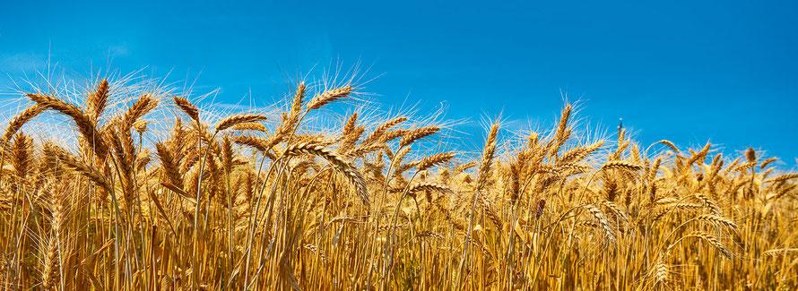 Schweizer Weizen