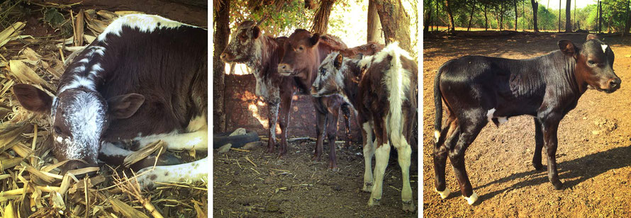 Jafuta Foundation - Community - Nguni Cattle breeding - Zimbabwe